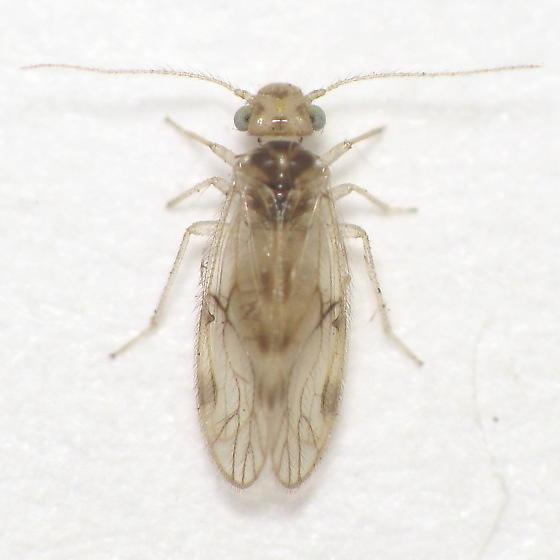 Unid. Barklouse - Pseudocaecilius citricola