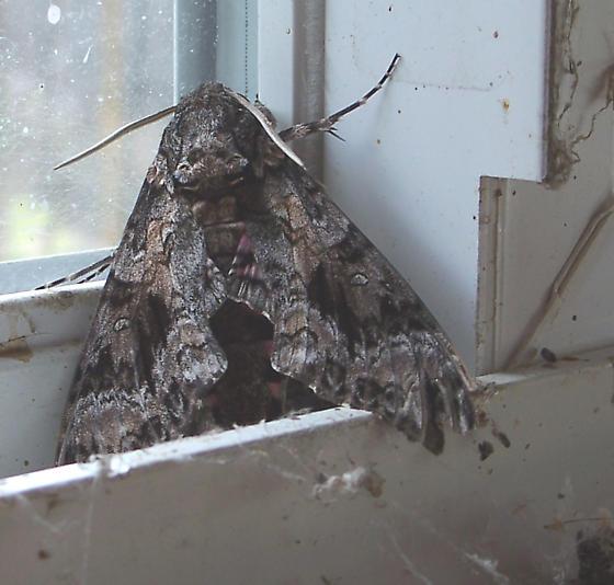 Catocala Moth - Agrius cingulata