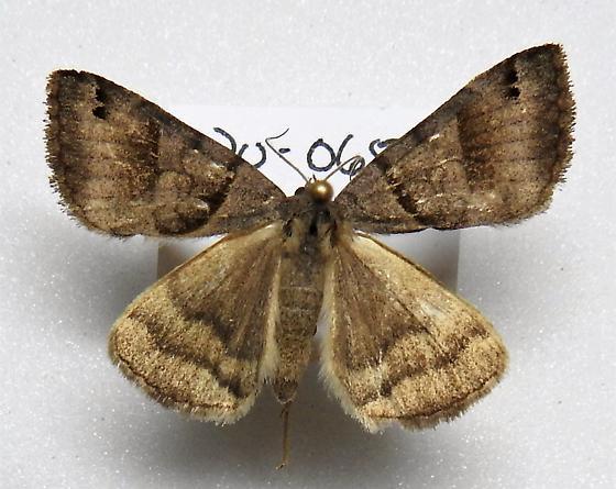 Caenurgina crassiuscula - Clover Looper - Hodges#8738 - Caenurgina crassiuscula - male