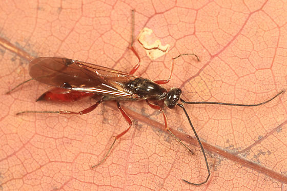 Procto - Proctotrupes caudatus - male