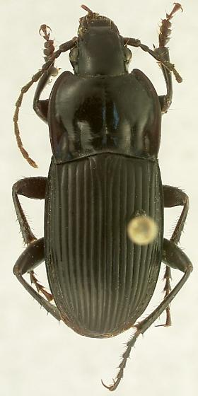 Abax parallelepipedus (Piller and Mitterpacher) - Abax parallelepipedus - male