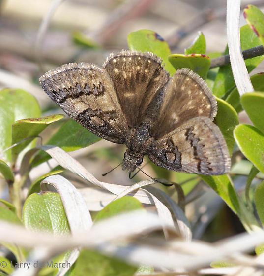 Sleepy duskywing - Erynnis brizo - female