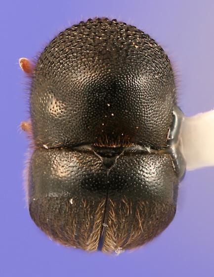 Dorsal view - Cnestus mutilatus - female