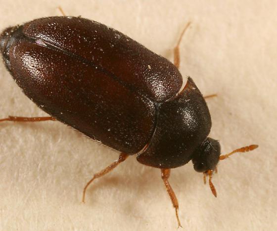 Black Carpet Beetle - Attagenus brunneus