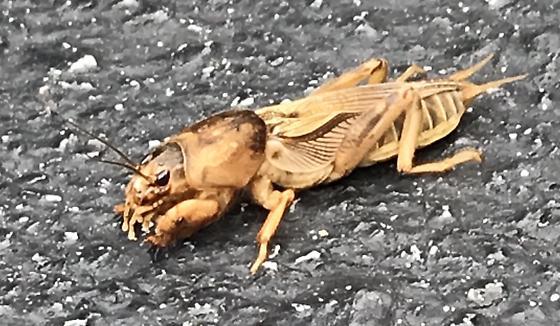 Brown Grasshopper Guy - Neoscapteriscus vicinus