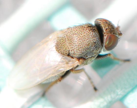 gnat (Hecamede albicans ?) - Hecamede albicans