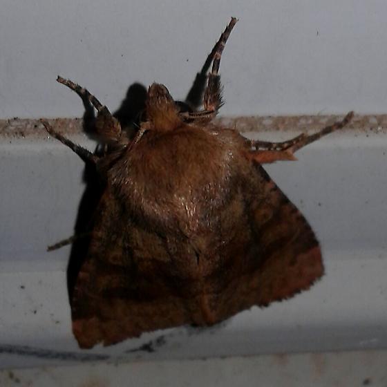 Brown moth 2 - Nephelodes minians