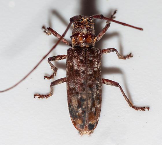 Monochamus carolinensis? - Monochamus carolinensis