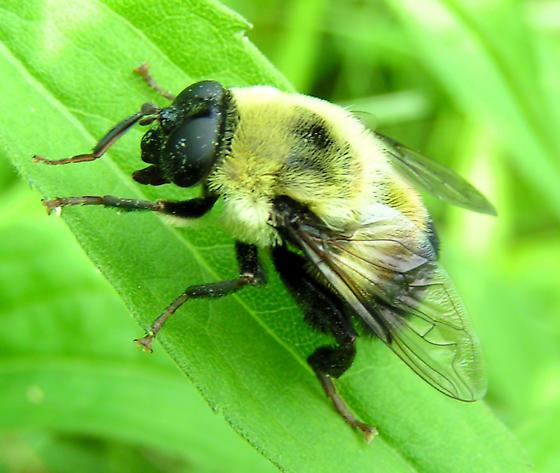 Bee Mimic - Mallota posticata