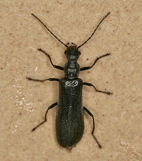 small black beetle - Dichelotarsus lygarius