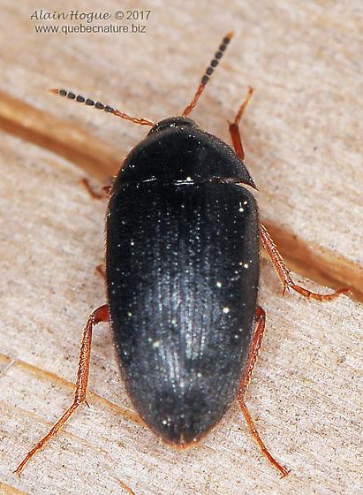 Coleoptera - Eustrophopsis bicolor