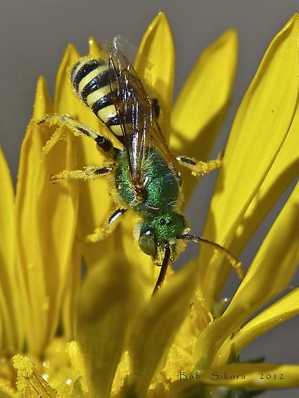 Wild bee - Agapostemon