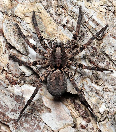 Lycosid - Gladicosa pulchra - female