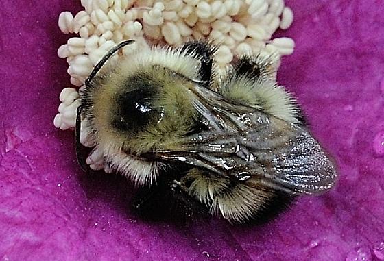 Bombus (pennsylvanicus?) on Rubus odoratus - Bombus