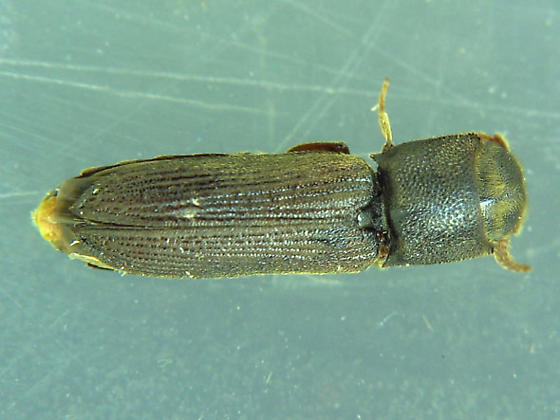 Cross-grain eucnemid - Melasis pectinicornis - female