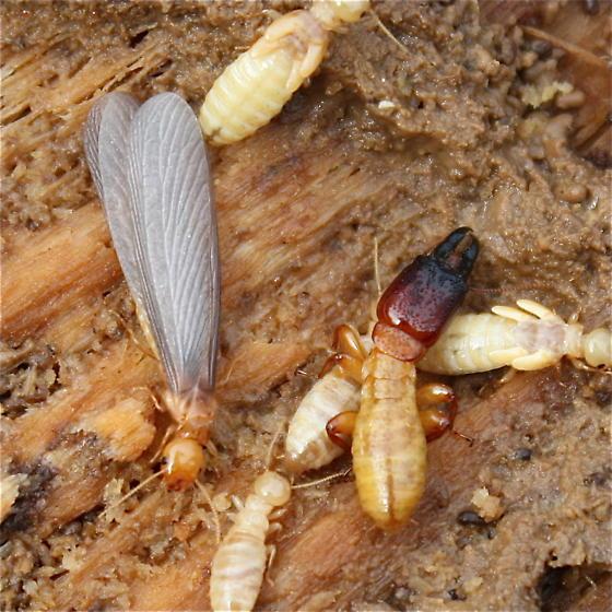 Zootermopsis angusticollis? - Zootermopsis