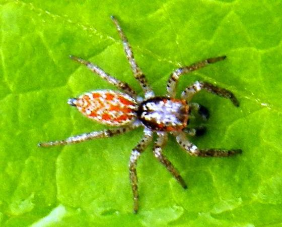 Red Jumping Spider - Maevia inclemens