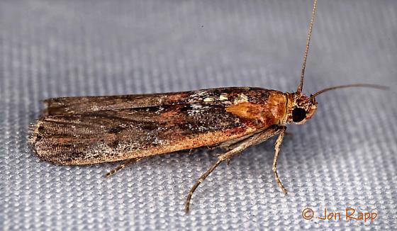 Adelphia Moth - Adelphia petrella