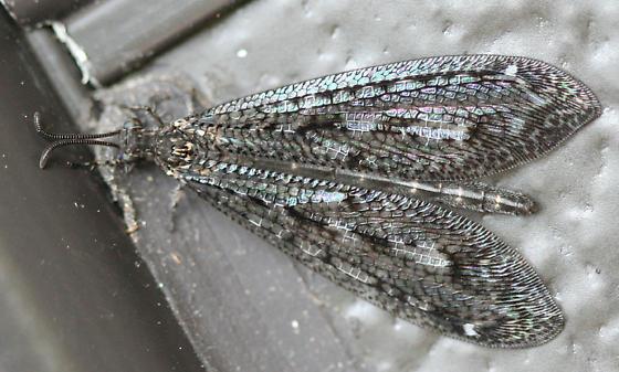 Antlion - Brachynemurus nebulosus - female