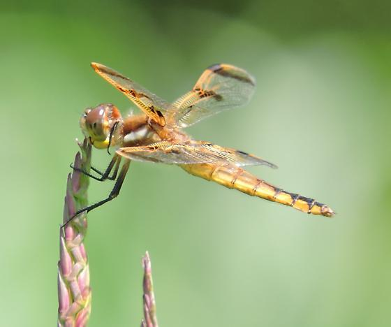 dragonfly - Libellula semifasciata