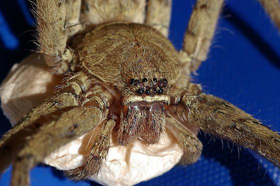 confirm Heteropoda venatoria - Huntsman Spider? - Heteropoda venatoria - female