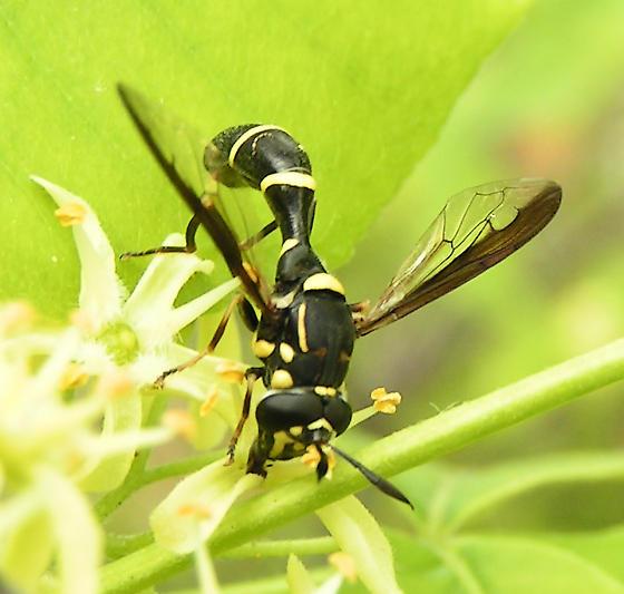 Syrphid Fly - Sphiximorpha willistoni - male