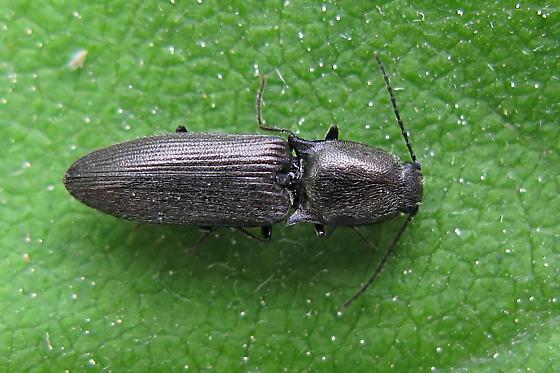 Click Beetle - Corymbitodes elongaticollis
