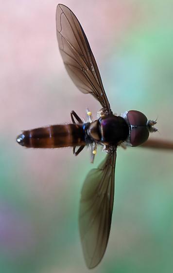 Syrphid Fly species - Ocyptamus