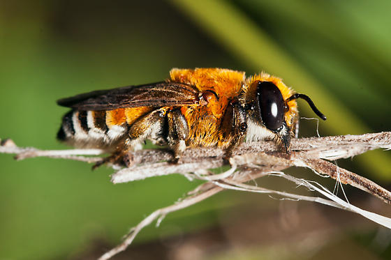 Orange Bee - Megachile lanata - female