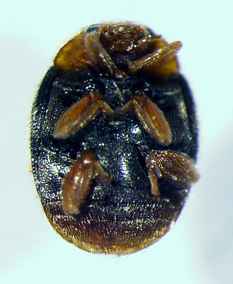 scymnine - Scymnus indianensis