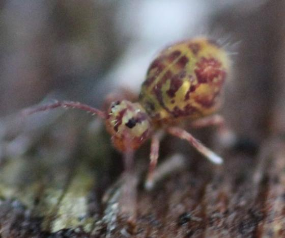 Globular Springtail - Dicyrtomina minuta - female