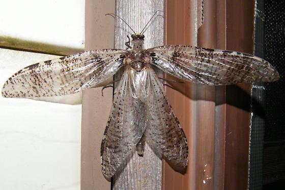 Unknown Huge Dragonfly? - Dysmicohermes disjunctus