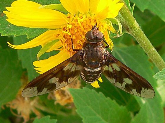 bee fly at Falcon SP - Exoprosopa