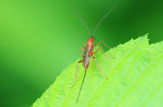 small orange wasp with long ovipositor - female
