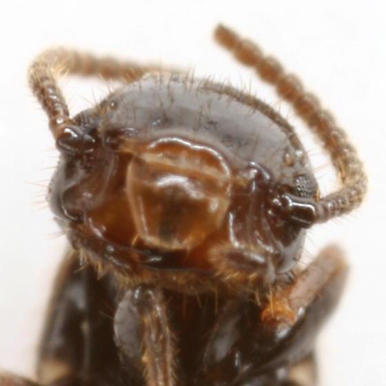 Termite - Reticulitermes