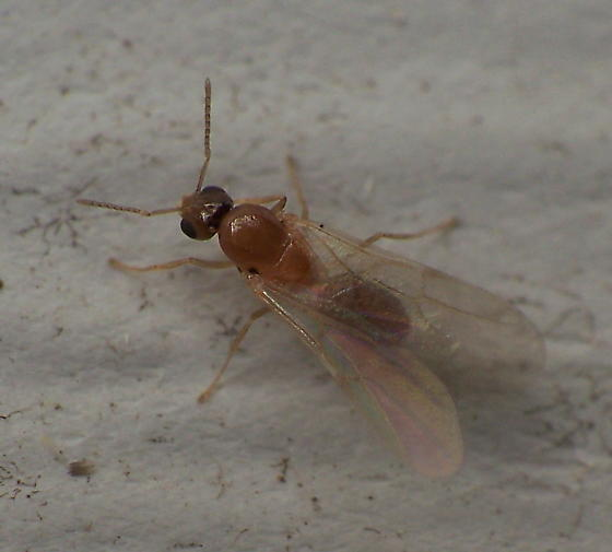 Another Ant/Wasp Question - Brachymyrmex depilis