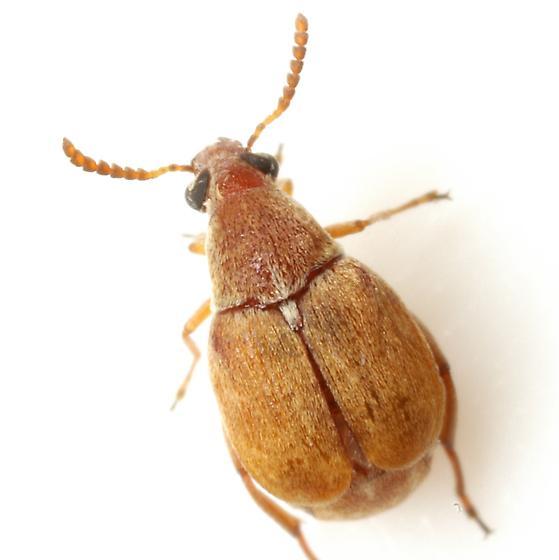 Acanthoscelides flavescens (Fahraeus) - Acanthoscelides flavescens