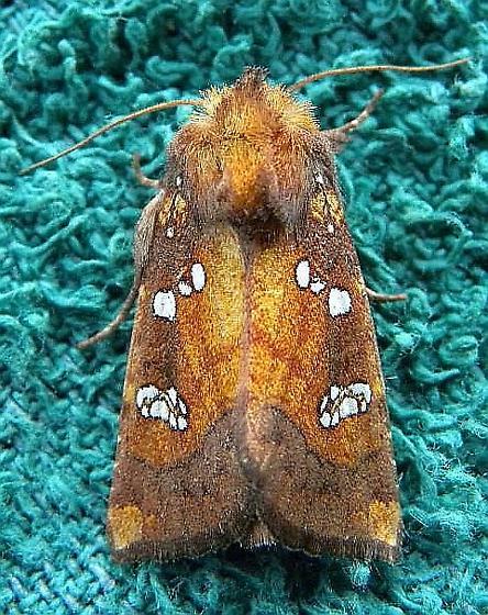 Pennsylvania Moth - Papaipema baptisiae