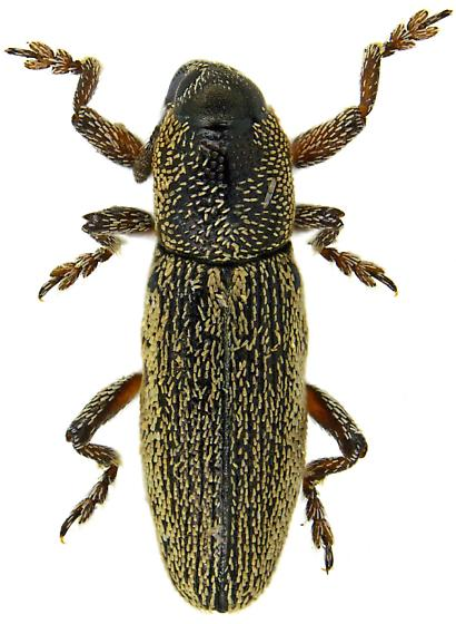 elongated small weevil - Barilepton
