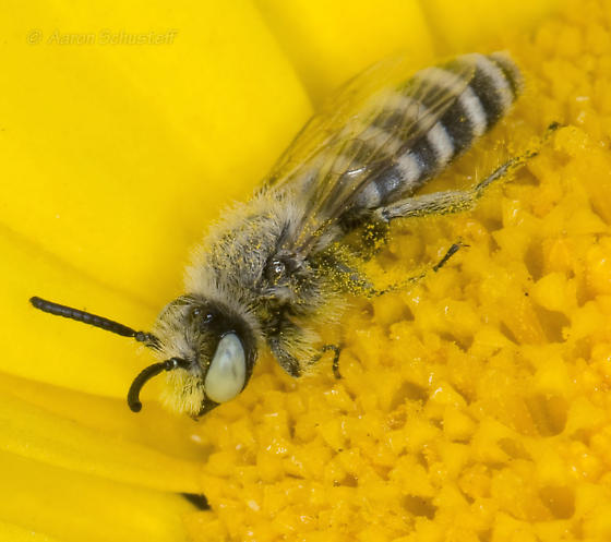 Small banded bee on a DYC - Hesperapis - male