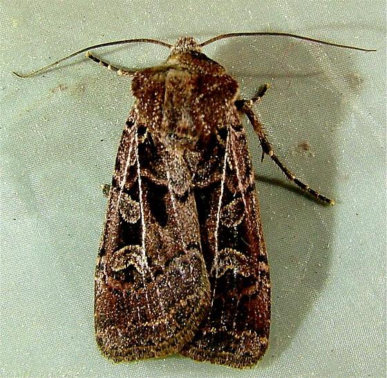 Euxoa divergens – Divergent Dart Moth  10702  - Euxoa divergens