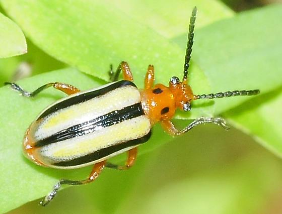 Lema daturaphila - Three-lined Potato Beetle - Lema daturaphila