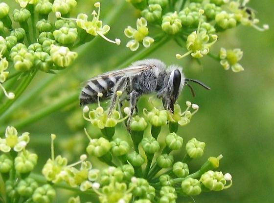 Black and white bee - Colletes