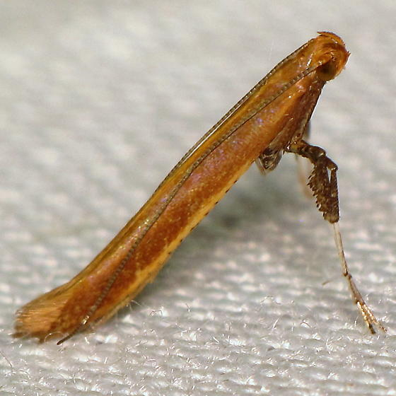 Caloptilia sp. IV - Caloptilia