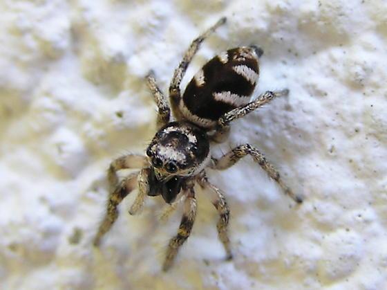 Black & white spider to ID - Salticus scenicus