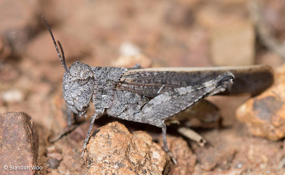 Arphia conspersa - male
