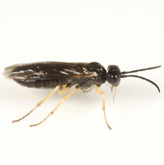 Sawfly on the window - Ametastegia pallipes
