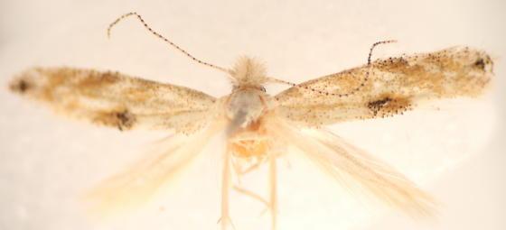Bucculatrix packardella? - Bucculatrix packardella - female