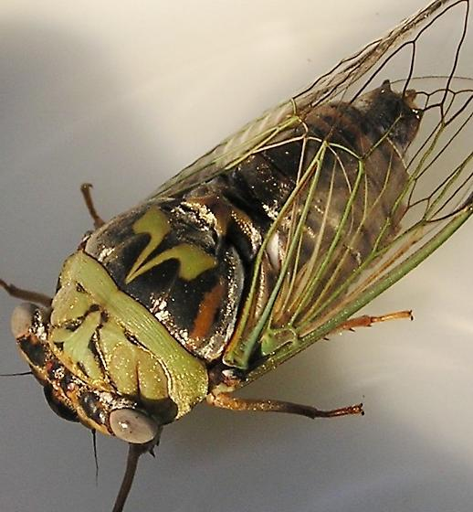 Western Dusk Screaming Cicada - Megatibicen resh - male