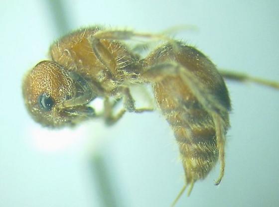 Mutillid - Pseudomethoca frigida - female